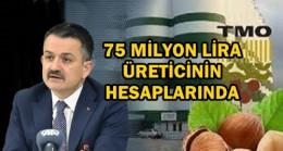 FINDIK ÜRETİCİLERİNE 75 MİLYON TL ÖDENİYOR